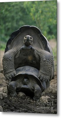 Metal Print featuring the photograph Tortoise Love - Galapagos by Craig Lovell