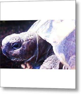 #tortoise #torts #sunbathing #basking Metal Print by Natalie Anne