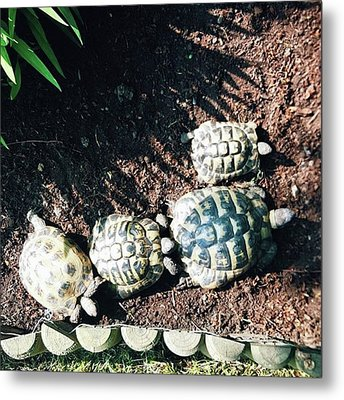 #torts #tortoise #sunbathing #shell Metal Print by Natalie Anne