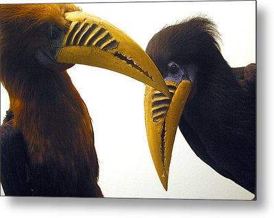 Toucan Play At That Game Metal Print by Jez C Self
