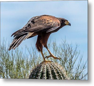 Tough Feet - Desert Hawk Metal Print by Leo Bounds