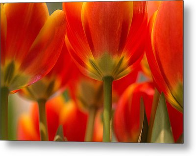 Metal Print featuring the photograph Towering Tulips  by Julie Andel