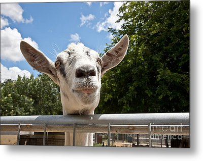 Transgenic Goat Peering Over Fence Metal Print by Inga Spence
