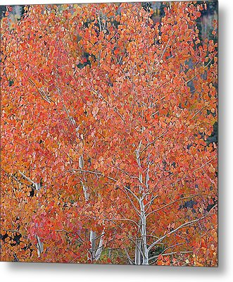 Translucent Aspen Orange Metal Print by Gary Baird