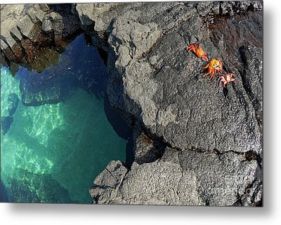 Transparent Waters And Volcanic Rocks With Sally Lightfoot Crabs Metal Print by Sami Sarkis