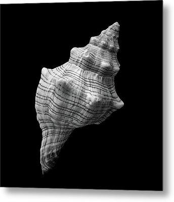 Trapezium Horse Conch Sea Shell Metal Print by Jim Hughes