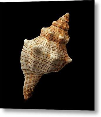 Trapezium Horse Conch Shell Metal Print by Jim Hughes
