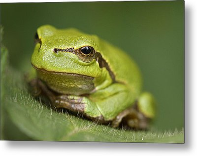 Tree Frog Cose Up Metal Print by Roeselien Raimond