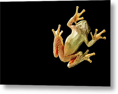 Tree Frog Under Glass Metal Print
