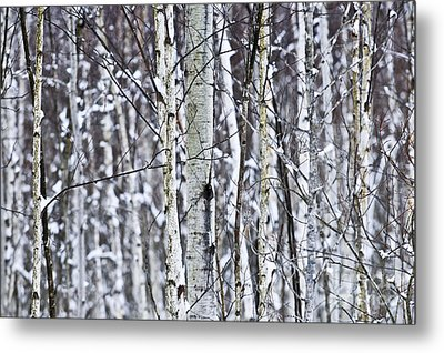 Tree Trunks Covered With Snow In Winter Metal Print by Elena Elisseeva
