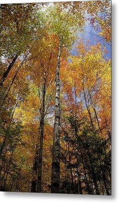 Trees On The Lincoln Woods Trail Metal Print by Nancy De Flon