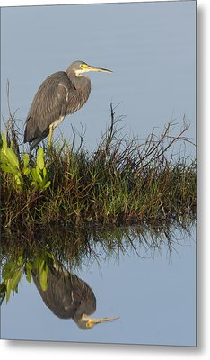 Tri-colored Heron And Reflection Metal Print