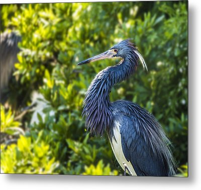 Metal Print featuring the photograph Tri-colored Heron Plumage by Paula Porterfield-Izzo