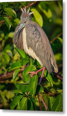 Tricolored At The Venice Rookery Metal Print