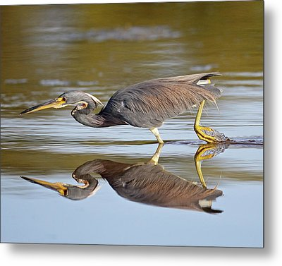 Tricolored Heron Metal Print by Brian Magnier