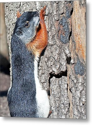 Tricolored Squirrel Metal Print by Kenneth Albin