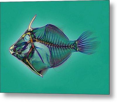 Triggerfish Skeleton, X-ray Metal Print by D. Roberts