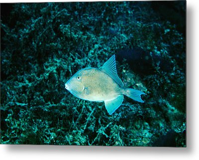 Triggerfish Swimming Over Coral Reef Metal Print by James Forte
