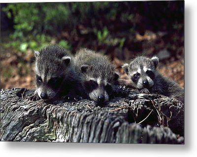 Metal Print featuring the photograph Triplets by Sally Weigand