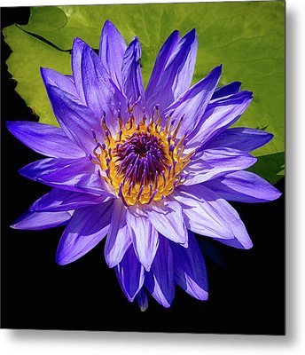 Tropical Day Blooming Water Lily In Lavender Metal Print by Julie Palencia