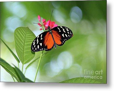 Tropical Hecale Butterfly Metal Print by Karen Adams