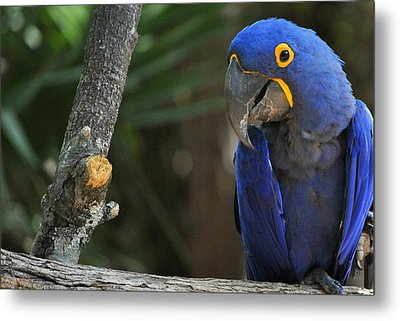 Metal Print featuring the photograph True Blue by Laura DAddona