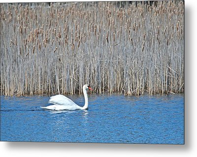 Metal Print featuring the photograph Trumpeter Swan 0967 by Michael Peychich