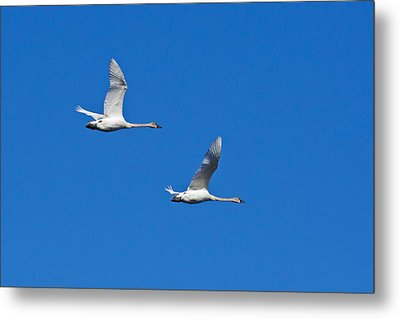 Metal Print featuring the photograph Trumpeter Swan 1727 by Michael Peychich