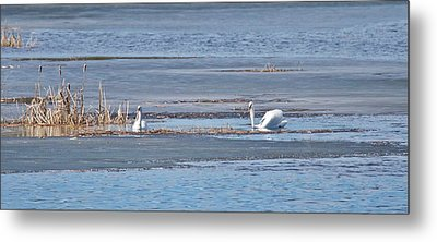 Metal Print featuring the photograph Trumpeter Swans 0933 by Michael Peychich