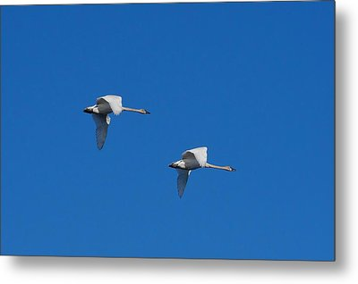 Metal Print featuring the photograph Trumpeter Swans 1725 by Michael Peychich