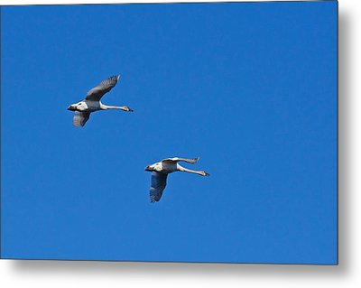 Metal Print featuring the photograph Trumpeter Swans 1726 by Michael Peychich