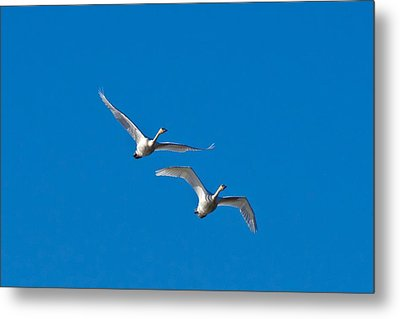 Metal Print featuring the photograph Trumpeter Swans 1735 by Michael Peychich