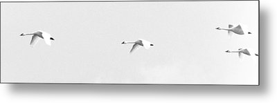 Trumpeter Swans In Flight Metal Print