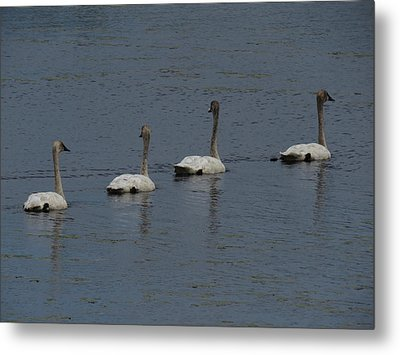 Metal Print featuring the photograph Trumpeter Swans by Sandra LaFaut