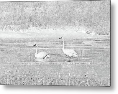 Metal Print featuring the photograph Trumpeter Swan's Winter Rest Gray by Jennie Marie Schell