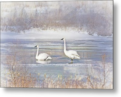 Metal Print featuring the photograph Trumpeter Swan's Winter Rest by Jennie Marie Schell