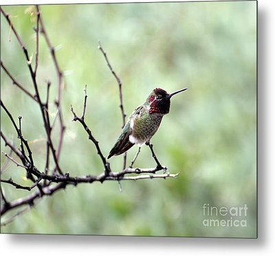 Trumpeting Hummingbird Metal Print