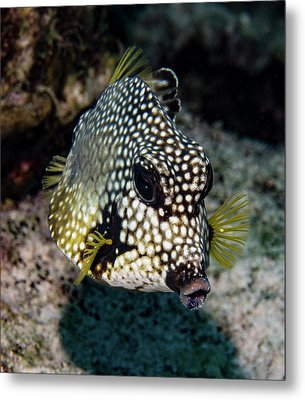 Metal Print featuring the photograph Trunkfish Portrait by Jean Noren