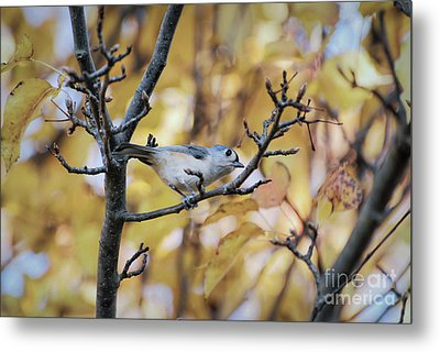 Metal Print featuring the photograph Tufted Titmouse In Autumn by Kerri Farley