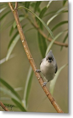 Tufted Titmouse Metal Print by Phill Doherty
