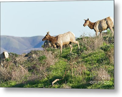 Tules Elks At Tomales Bay Point Reyes National Seashore California 5dimg9315 Metal Print by Wingsdomain Art and Photography