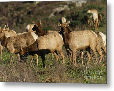 Tules Elks At Tomales Bay Point Reyes National Seashore California 5dimg9338 Metal Print by Wingsdomain Art and Photography