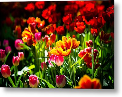 Metal Print featuring the photograph Tulip Flower Beauty by Alexander Senin