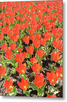 Tulip Garden Metal Print by Richard Mitchell