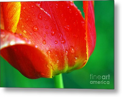 Metal Print featuring the photograph Tulip by Lila Fisher-Wenzel