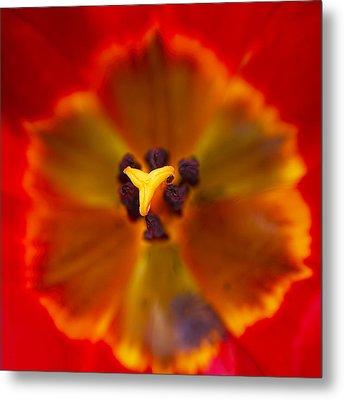 Tulip Macro Metal Print by Sharon Talson