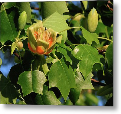 Tulip Poplar Metal Print by Peg Urban