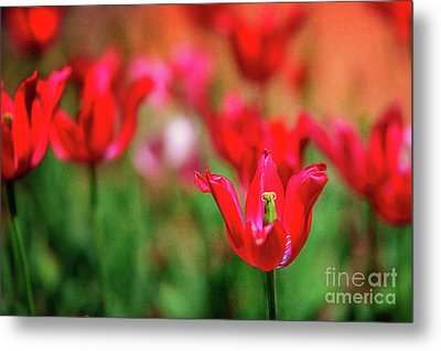 Tulips At Honor Heights Metal Print by Tamyra Ayles