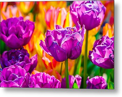 Metal Print featuring the photograph Tulips Enchanting 41 by Alexander Senin
