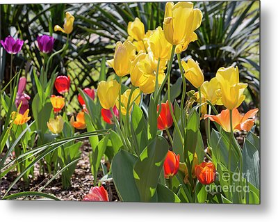 Tulips In A Garden In Spring Metal Print by Louise Heusinkveld